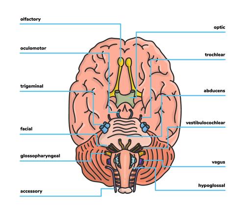 Cranial-Nerves_Intext-Image.png